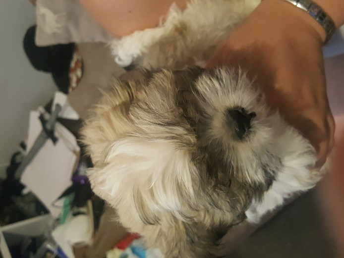 Lhasa apso puppy 1 boy left
