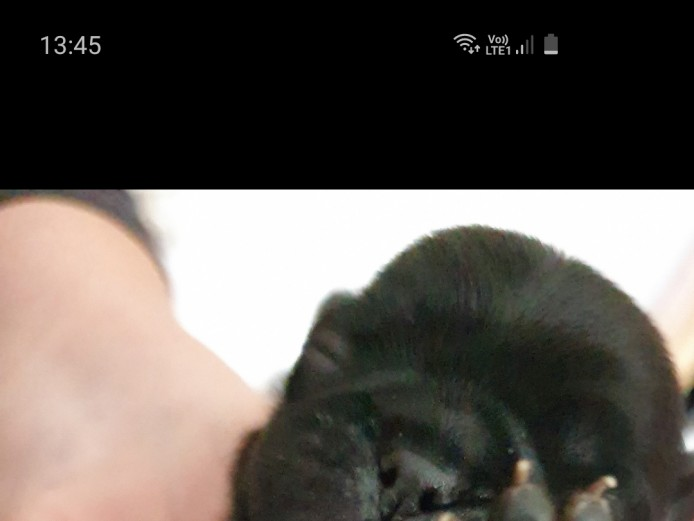 Stunning kc pug puppies 4 fawn girls 2 black boys