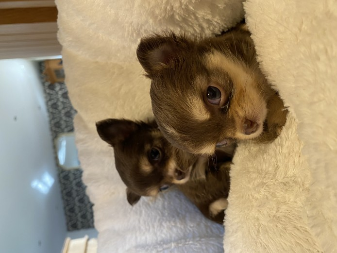 Chocolate long coat chihuahua