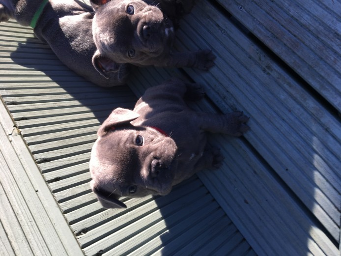 4 blue french bulldog boys