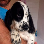 2 cocker spaniels left from litter of 6