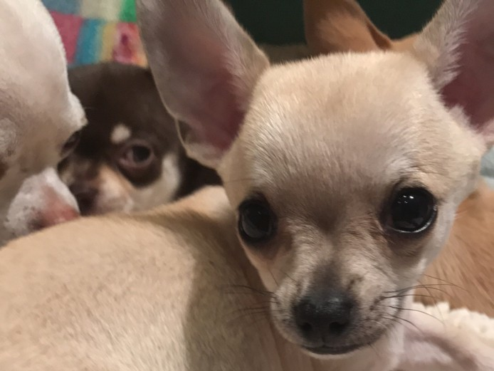 Chihuahua Puppies for Sale (1 Boy and 1 Girl)
