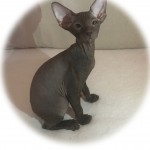 PETERBALD Excellent kitten 11 WORLD CHAMPIONS in his pedigree