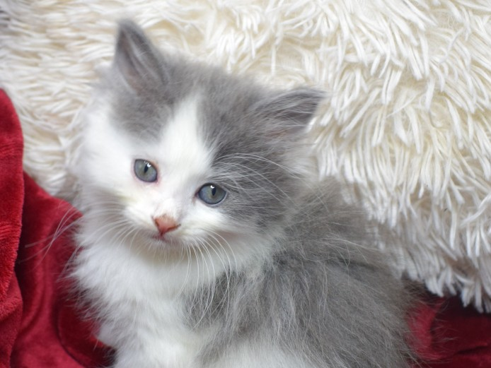 3 Adorable Ragdoll X Persian Kittens