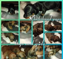 Pets  - Beautiful miniature dachshund puppies