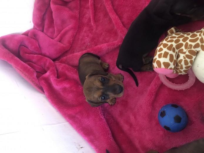 Kc reg miniature smooth coat dachshund