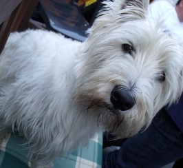 Wanted big male Westie puppy