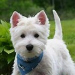 Wanted - West Highland Terrier puppy