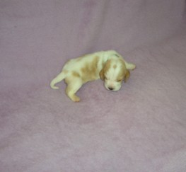 Pets  - Top Quality Litter KC Reg Puppies