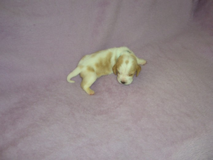 Top Quality Litter KC Reg Puppies