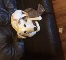ALFIE Greyhound/Saluki cross puppy