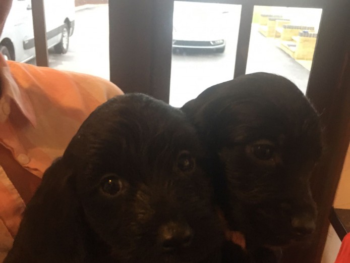 3 female cockerpoo puppies