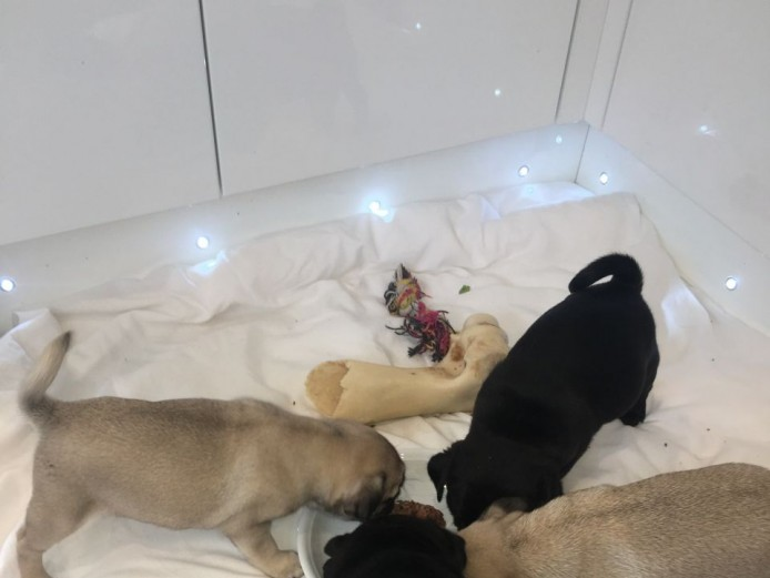 malcoliechocho * Top Quality Kc Reg Pug Puppies - *ready Now *