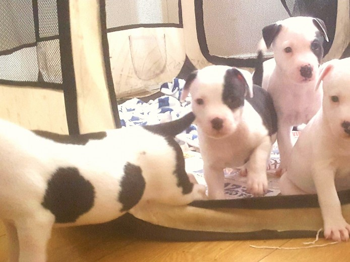 Ready for rehoming next week- chunky american bulldog puppies