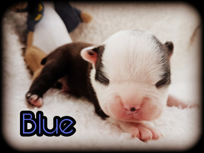 K.C BOSTON TERRIER LITTER