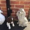 Pets for Sale - Springer spaniel bitch