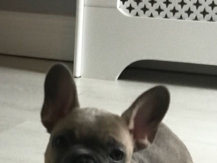 KC REG FRENCH BULLDOG PUPS