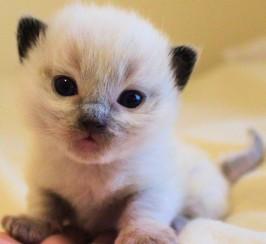 Stunning Registered Ragdoll Kittens