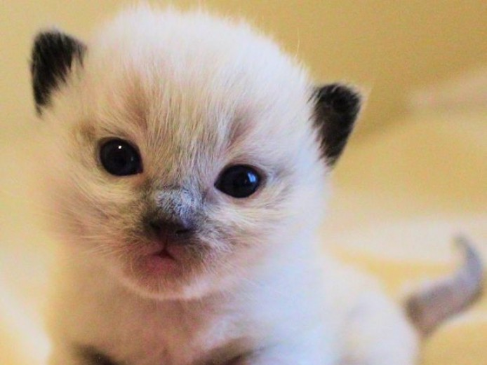 Stunning Registered Ragdoll Kittens