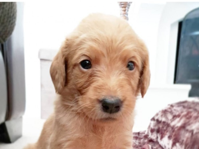 F1 Labradoodle Puppies. KC Reg Parents. Hip Scored Dad. Low Shedding. Health Tested