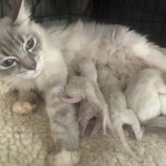 6 stunning ragdoll kittens