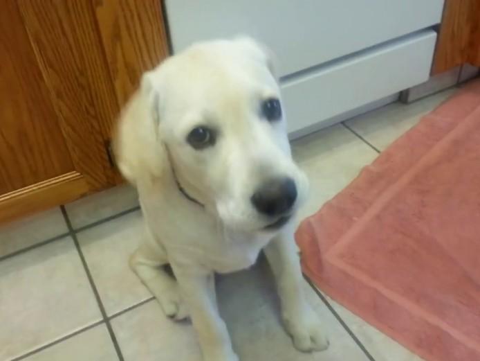 female yellow labrador to re-home
