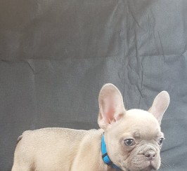 for sale french bull dog pups
