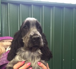 Gorgeous Boy Cocker Spaniels
