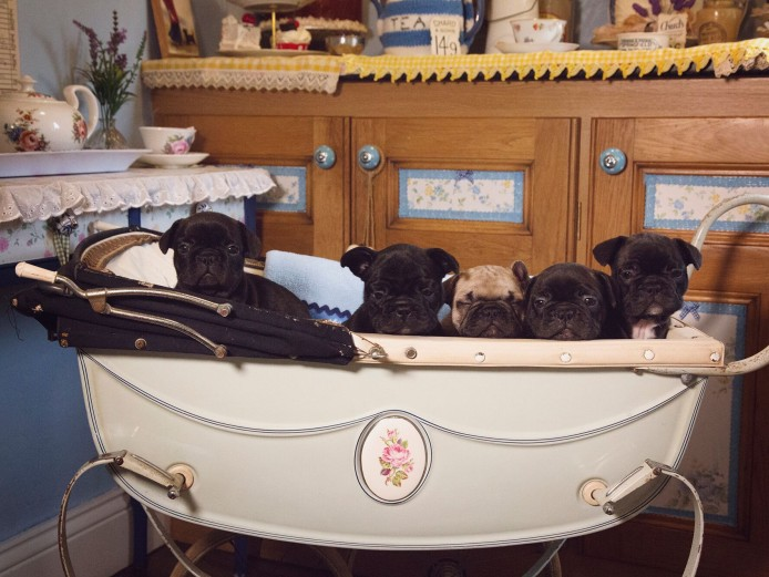 TRUE TO TYPE BIG CHUNKY FRENCH BULLDOG PUPPIES