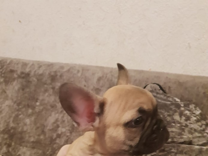 Fawn carrying lilac n tan pup for sale