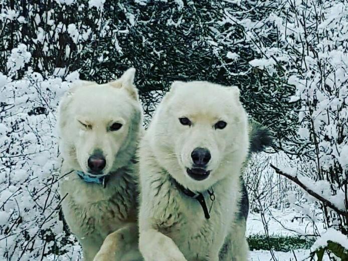 German Shepherd x Husky Pups
