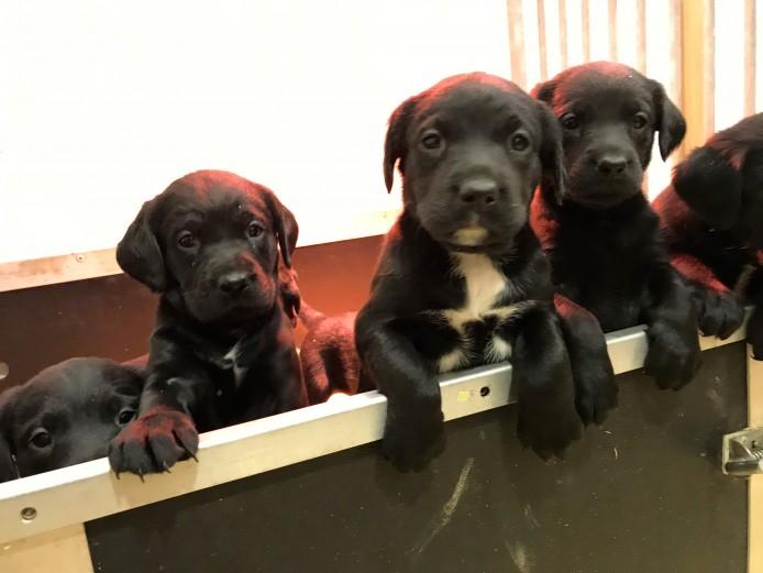 Springerdor Pups