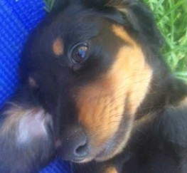 Pets  - KC Miniature long haired Dacshund s PRA CLEAR