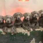 Silver Labrador puppies for sale