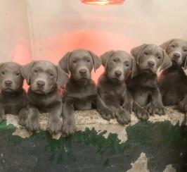 Silver Labrador puppies for sale