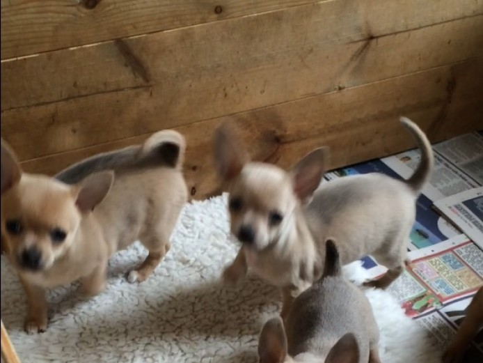 KC registered Smooth coat chihuahuas