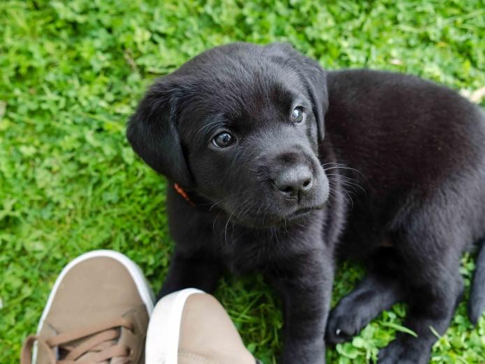 Stunning pedigree Labrador retriever pups