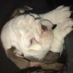 Rare colour kc English Bulldog pups, lilac and chocolate tri