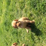 Beautiful KC Registered Hungarian Viszla Puppies for Sale