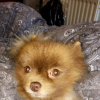 Pets  - Pomeranian - With Papers