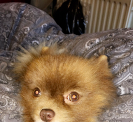 Pomeranian - With Papers