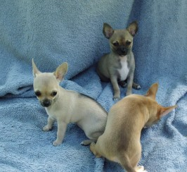 2 Gorgeous Chihuahua bitch pups. Ready now.