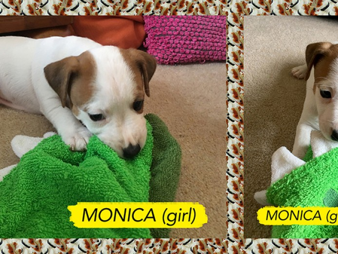 FUN, CUTE & PLAYFUL JACK RUSSELL PUPPIES FOR SALE