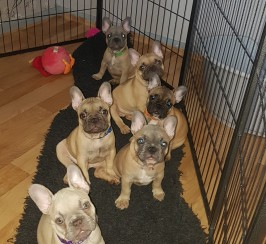 French Bulldog Pups KC Registered ready for their new homes