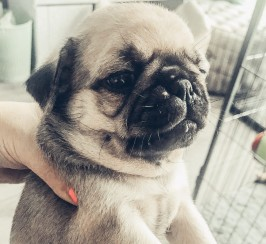 KC pug puppies carrying pink