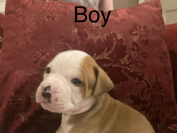 American bulldog puppies pure-breed ( ready to go in two weeks time)
