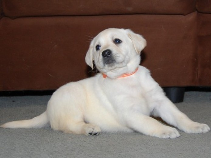 Stunning Pedigree and Kc Reg Labrador Retriever Pups For Sale