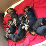 Lovely chorkie puppies for sale