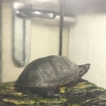Turtle for sale in Coventry