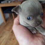 chihuahua stunning puppys
